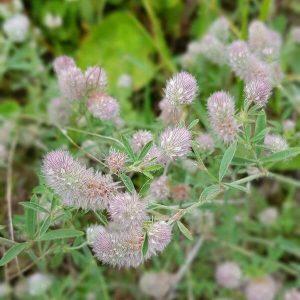 Jänönapila -Trifolium arvense - Harklöver frön -Apilan siemenet.