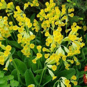 Kevätesikko - Primula veris - Gullviva frön - Niittykukkien, perennojen siemenet.