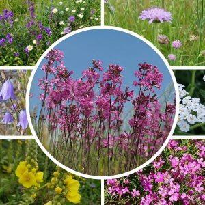 Kuiva niitty siemenseos lajitelma sisältää paljon erilaisia kukkivia luonnonperennoja. Kylvä siemenet syksyllä tai keväällä.