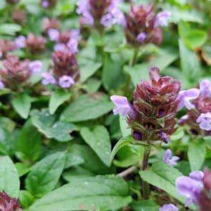 Niittyhumala eli ahoniittyhumala - Prunella vulgaris - Brunört frön - siemenet.