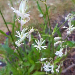 Nuokkukohokki - Silene nutans - Backglim frön - Luonnonkukkien siemenet.
