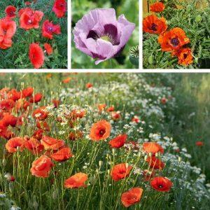 Unikkoseos - Vallmo färgblandning - Papaveraceae - Kukkien siemenet.