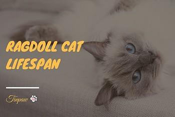 How-Long-Do-Ragdoll-Cats-Live-11