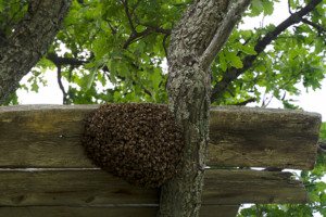 Swarm of bees on a fence