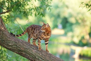 Cats That Don't Shed Bengal