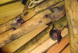 Bats in home attic