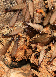 Group of flying termites