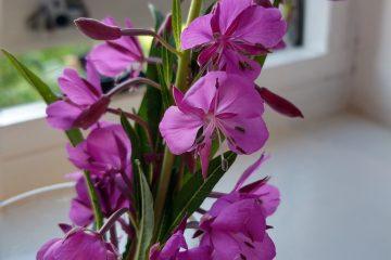 Rosebay Willowherb pink flowers and leaves