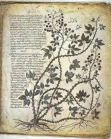 Pre-Pharmacopoeia of Rosemary