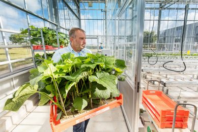 Cucumber Tencent Project  WUR Wageningen university