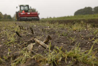 Zaaien van een vanggewas na mais. De mogelijkheden om vanggewassen aan te wenden als veevoer zijn verruimd.