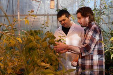 Wild tomato plant key to reduce pesticide use