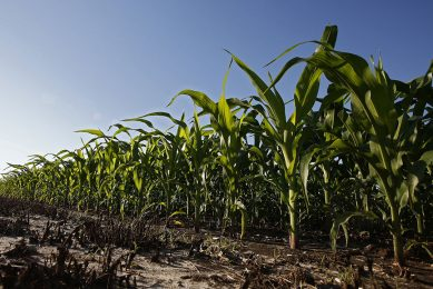 epa07570199 A large crop of corn grows in a field near Bailey, Texas, 14 May 2019. Farm crops have been getting a lot of rain causing farmers trouble.  EPA/LARRY W. SMITH