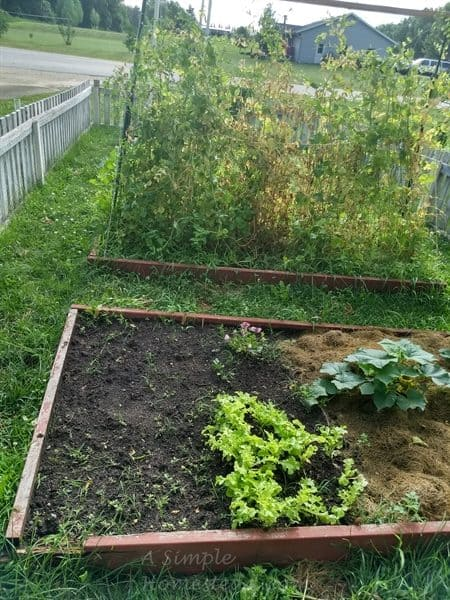 July garden - peas, lettuce, spinach and cucumber