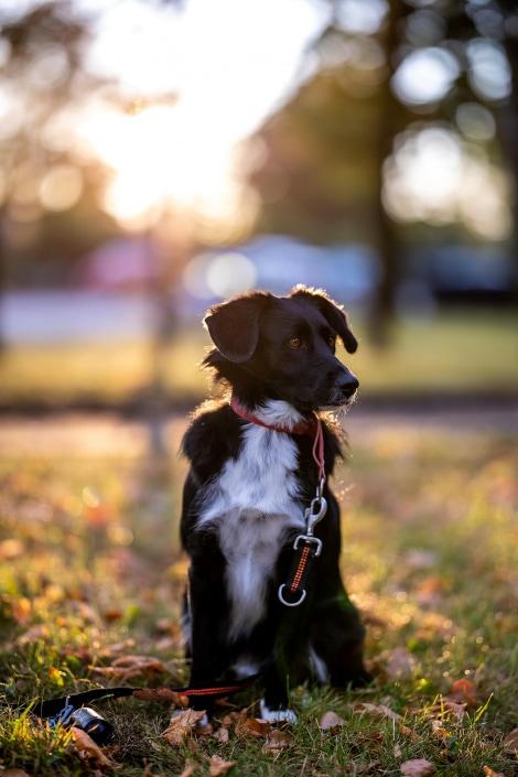 gegen die aufgehende Sonne fotografiertes Hundeportrait im Morgenlicht Canon EOS R6 & RF 85mm f/1.2L USM