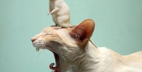 Новые приколы про кошек - Кошки боятся крысу и дружат с ней!