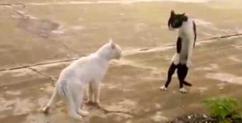 Кошачьи танцы, приколы 2015, смешные животные