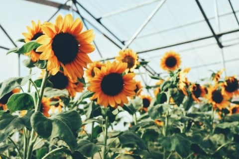 Sunflowers in greenhouse