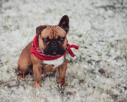Franzoesische Bulldogge im Pappelschnee