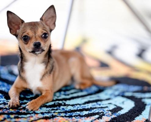 Hundefotoshooting fotografiert mit der Canon EOS R & dem SIGMA Art 105mm