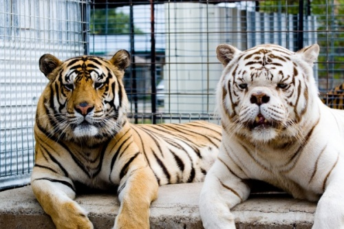 Willy and Kenny Tigers