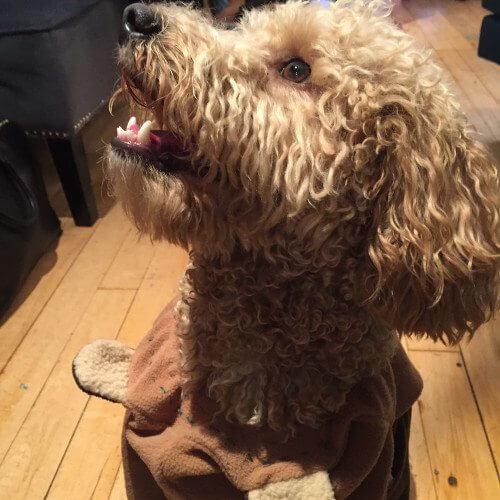 Danielle Weisberg's dog as Star Wars' Chewbacca