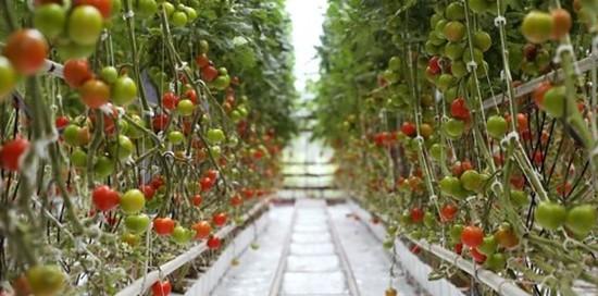 Tomato in greenhouse