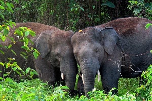 Sumatran-Elephants-electric-jungle