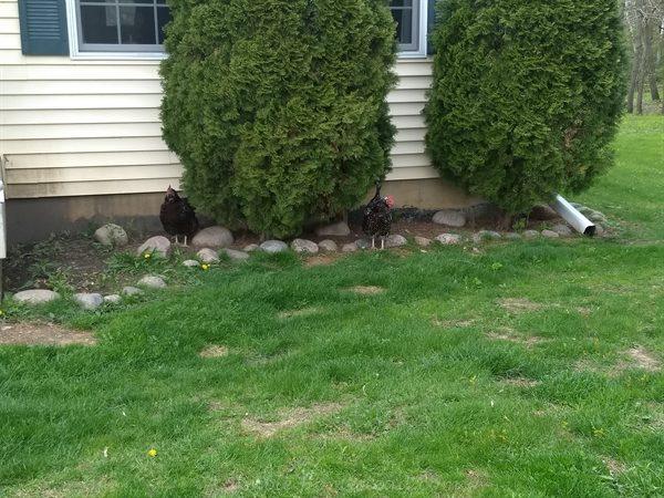 chickens hiding under the arborvitae bushes
