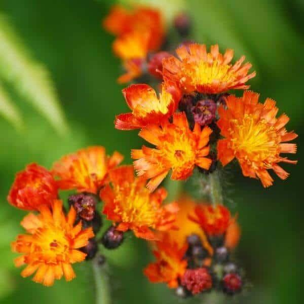 Oranssikeltano - Pilosella aurantiaca -Rödfibblafrön- Luonnonkukkien siemenet.