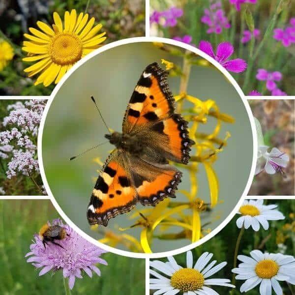 Perhosniitty siemenseos lajitelma sisältää paljon erilaisia perhosia ja pörriäisiä houkuttelevia luonnonkukkien siemeniä.