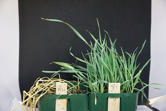 Barley grass confirmed resistant to glyphosate