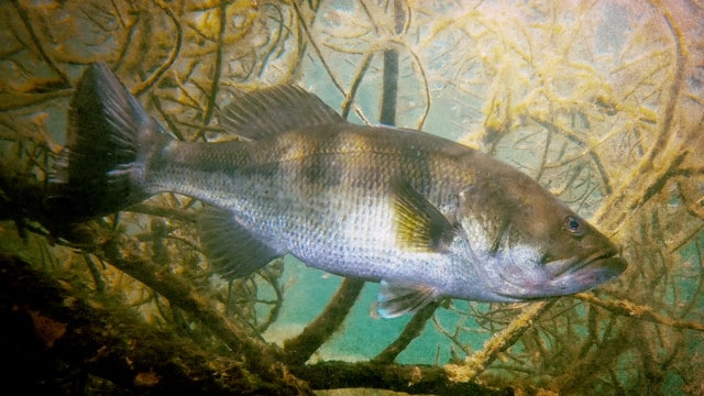 Creating a pond habitat for trophy bass