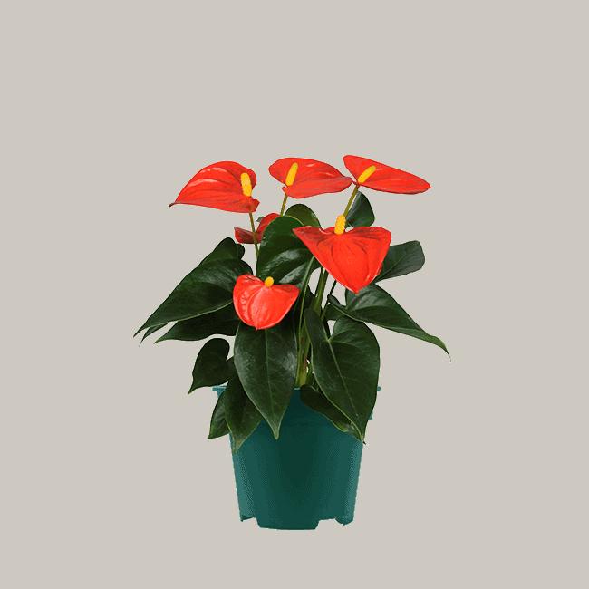 anthurium Solara_9cm