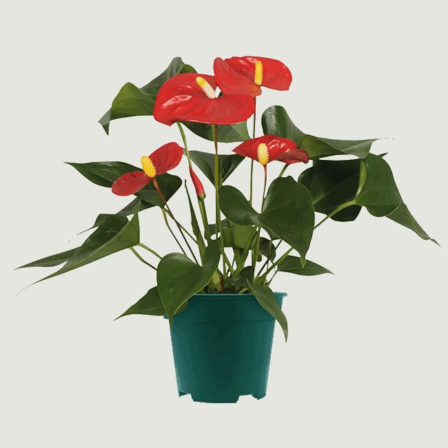 Aristo_9cm anthurium