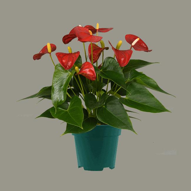 Mystral 12 cm anthurium