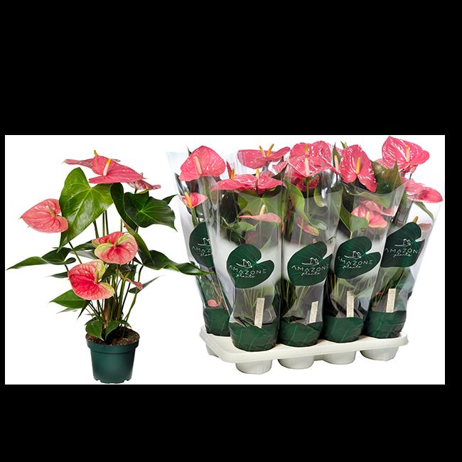 Amazone Plants Colorado 14cm mix