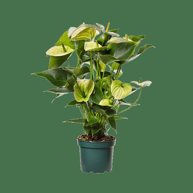 Amazone Plants Samora 17cm assortiment