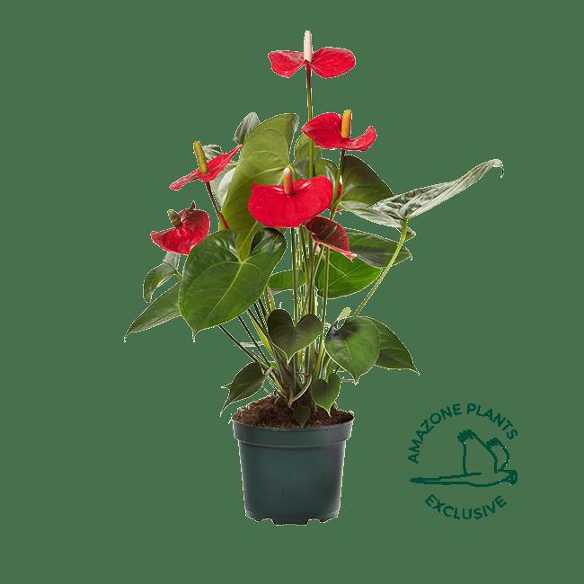 Amazone Plants Turenza 17cm exclusive