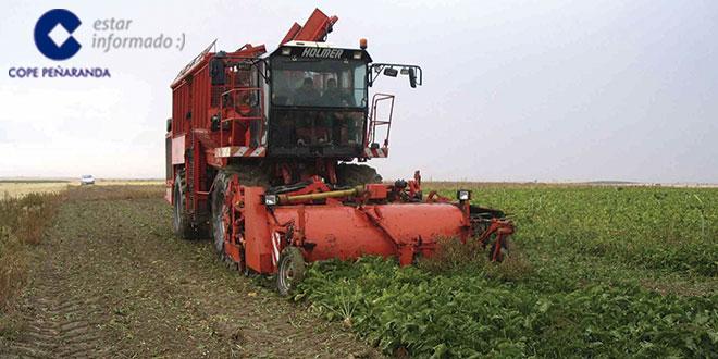 Una maquina de remolacha en los campos de la comarca de Peñaranda