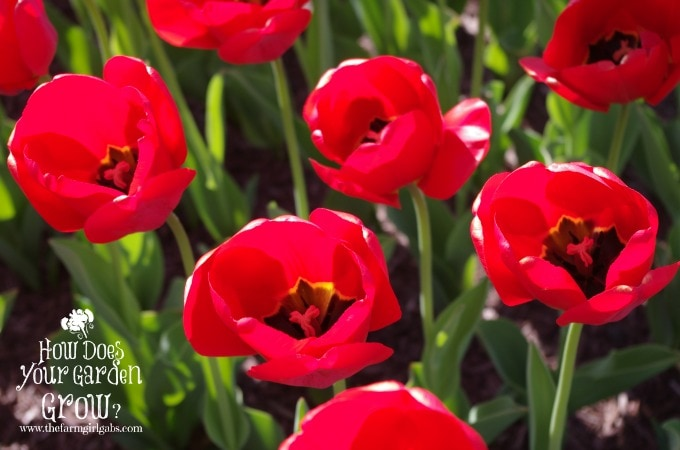 Tips for Planting Spring Bulbs