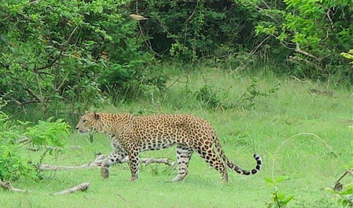 観光でも人気のスリランカ豹