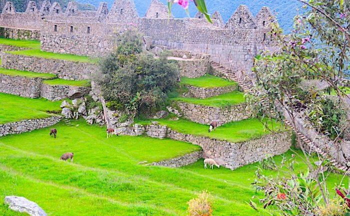 マチュピチュ遺跡とリャマたちの画像
