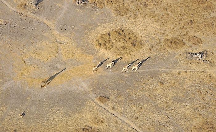 オカバンゴデルタ上空からキリンを見る