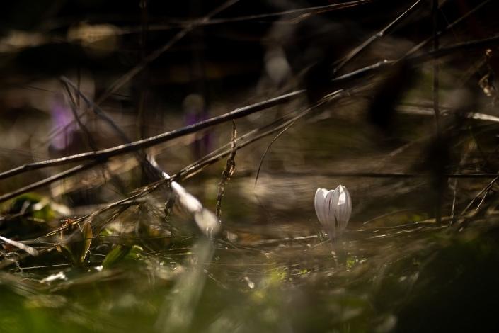 Frühlingserwachen - der Krokus wächst zwischen den Pflanzenresten vom Vorjahr Canon EOSR6 & RF 85mm f/1.2L USM