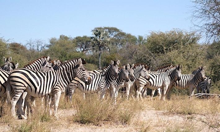 ボツワナのサファリで見たシマウマたち