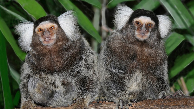 Mono marmoseta