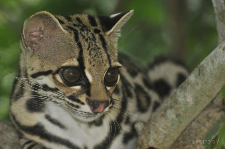 Caucel en NATUWA Sanctuary, Costa Rica