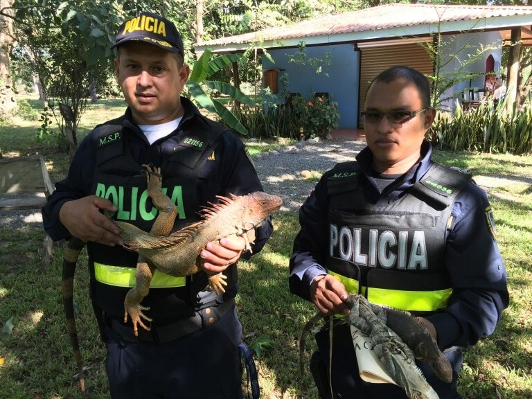 Iguanas decommitted by the Public Force (Police) of Costa Rica.