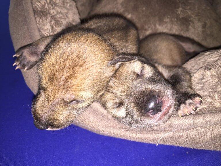 Lee más sobre el artículo Cachorros de Coyote (<i>Canis latrans</i>)